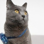 caturday-blue-likethat-chat-cat